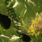 Cientistas descobrem lagarta comedora de plástico contra acúmulo de lixo.