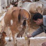 Veja: Culto religioso acredita que beber urina de vaca cura o Câncer