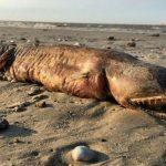 Criatura estranha, de dentes afiados foi encontrada na  praia após passagem de furacão
