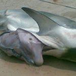 Corpo de um homem é encontrado dentro da barriga de tubarão! Imagens fortes