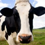 Vaca ajuda a desvendar homicídio motivado por sinal de wi-fi