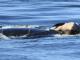 Orca carrega filhote morto por 17 dias