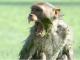 Macaco rouba e mata bebê de 12 dias