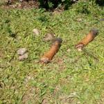 Polícia Militar registra mais um caso de ABIGEATO no interior de Capinzal