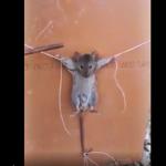 Imagens fortes:Homem tortura rato após encontrar animal dentro de casa
