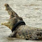 Crocodilo devora pastor evangélico que batizava fieis