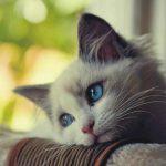 Austrália quer exterminar 2 milhões de gatos até 2020 usando comida envenenada