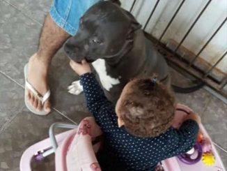 Pitbull mata bebê de 1 ano