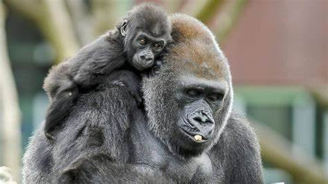 Gorilas testam positivo para coronavírus