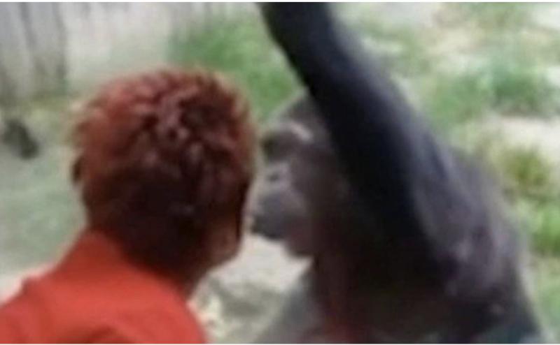 caso amoroso com chimpanzé